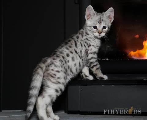 f2-savannah-cat-6.jpg