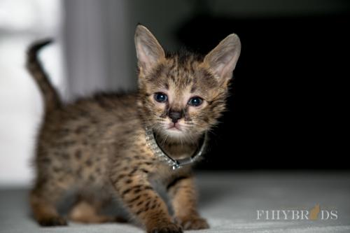 f2-savannah-kitten-23.jpg