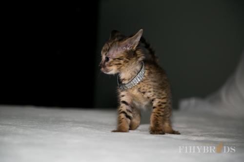 f2-savannah-kitten-24.jpg
