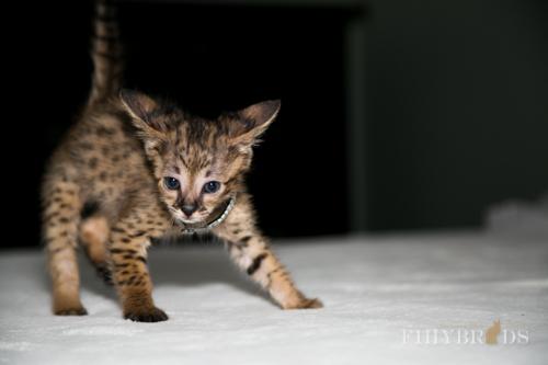 f2-savannah-kitten-28.jpg