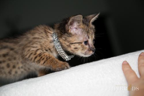 f2-savannah-kitten-30.jpg