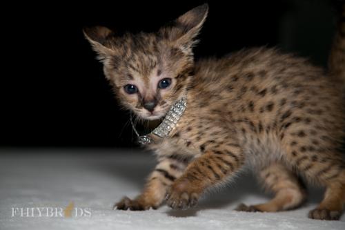 f2-savannah-kitten-32.jpg