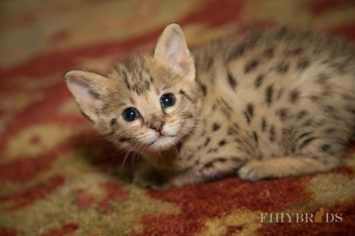 f2-savannah-kitten-11.jpg