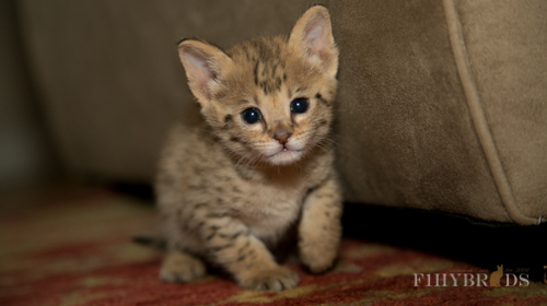 f2-savannah-kitten-13.jpg