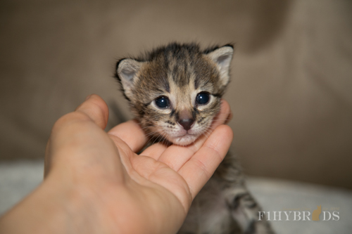 f2-savannah-kitten-17.jpg