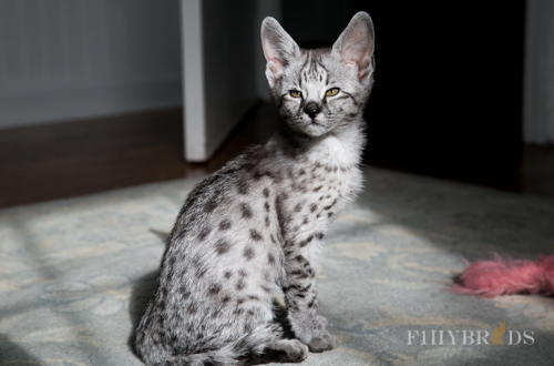savannah cats for sale in indiana review ebooks. Black Bedroom Furniture Sets. Home Design Ideas