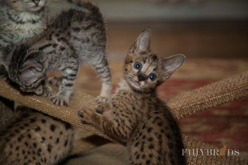 f2-savannah-kitten-35.jpg