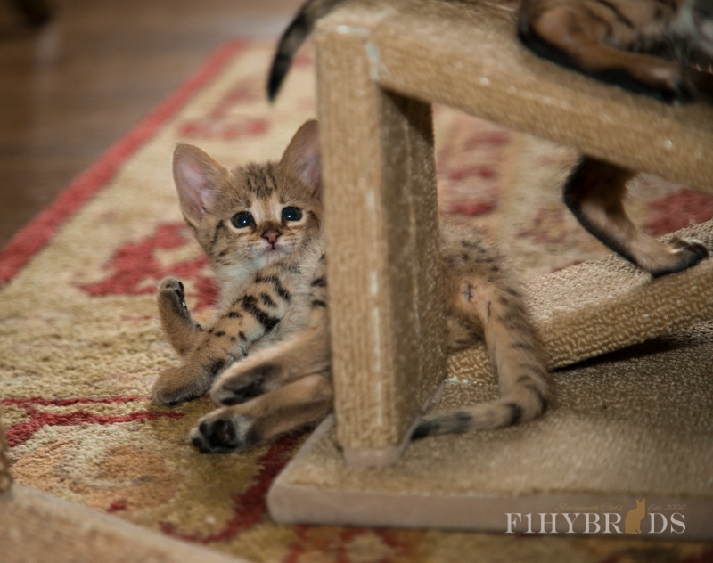 f2-savannah-kitten-21.jpg