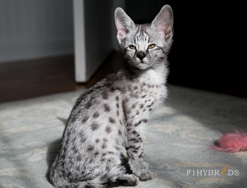 Savannah Kittens For Sale | F1Hybirds Savannah Cats