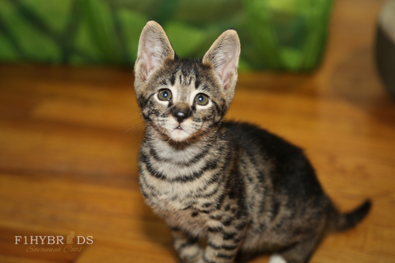 savannahcat-32.jpg