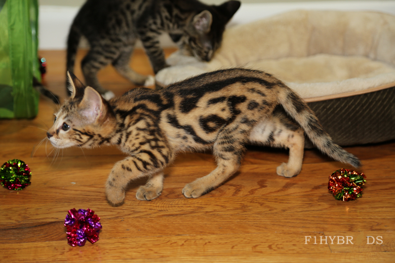 savannahcat-9.jpg