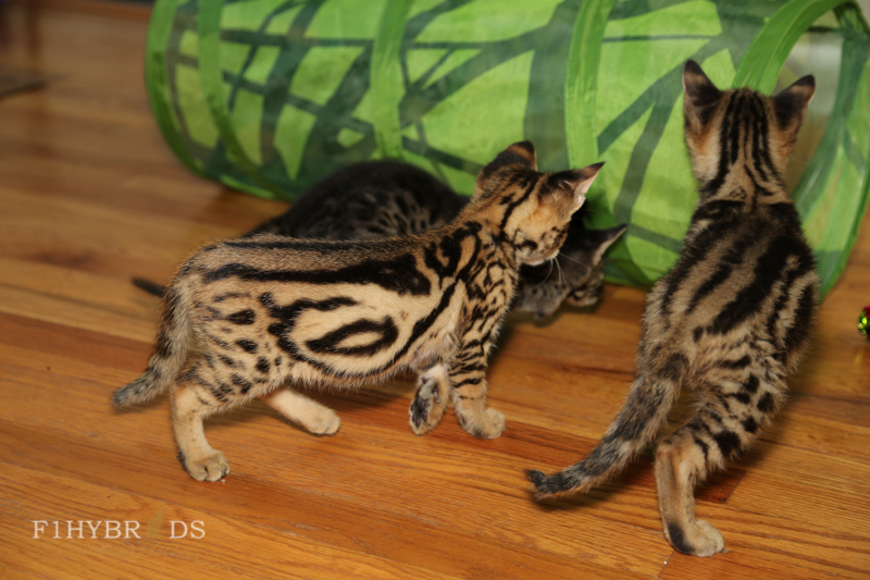 savannahcat-6.jpg