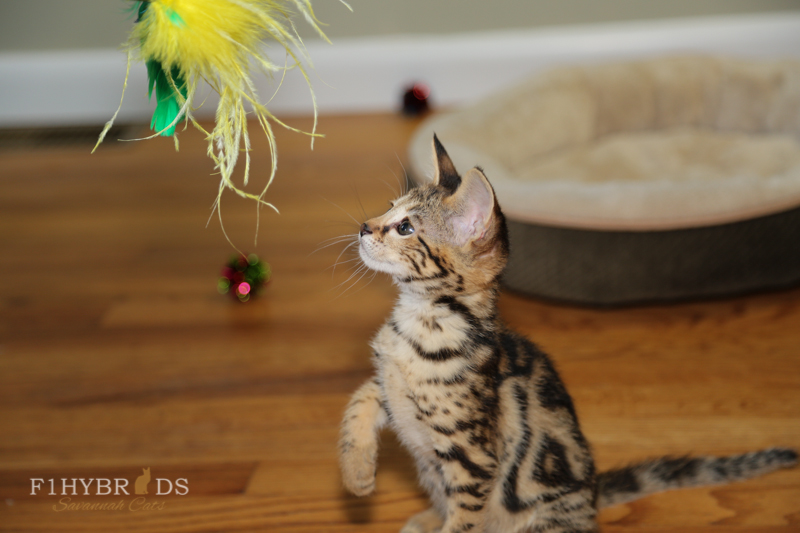 savannahcat-15.jpg