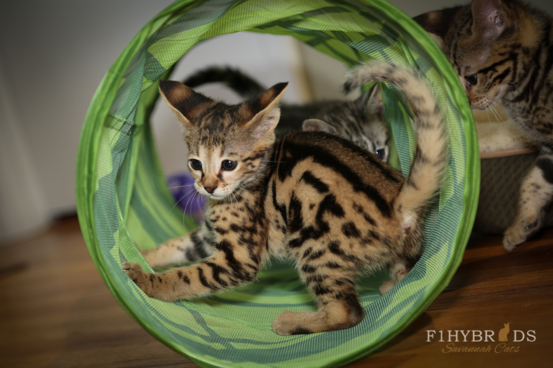 savannahcat-23.jpg
