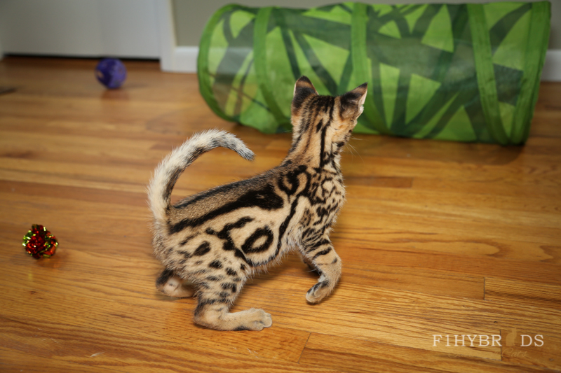 savannahcat-26.jpg