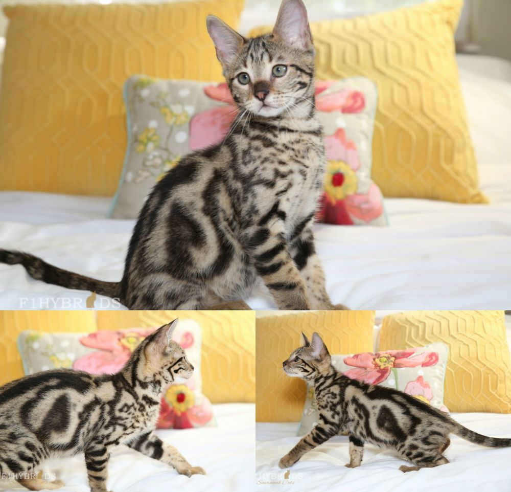 Jasper - 34% F2 Savannah Kitten (Available)