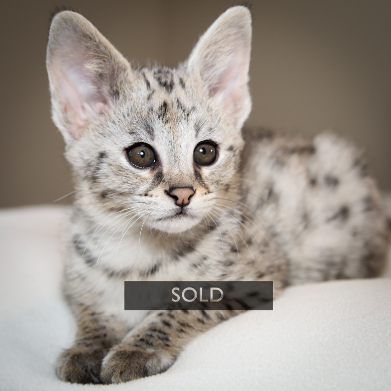 Belevadere if a silver black spotted F1 Savannah Cat.