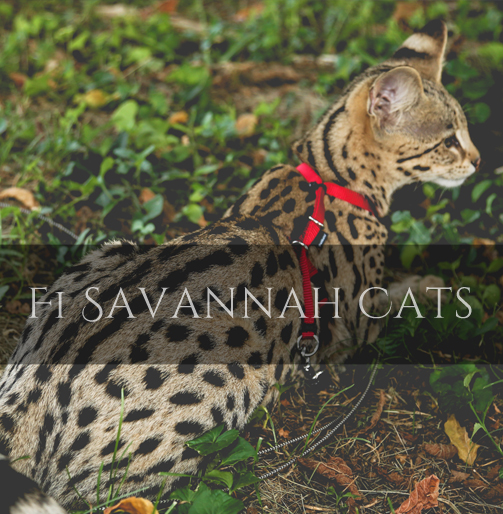F1 Savannah Cat Pictures