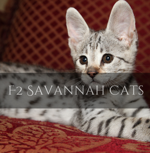 F2 Savannah Cat Pictures