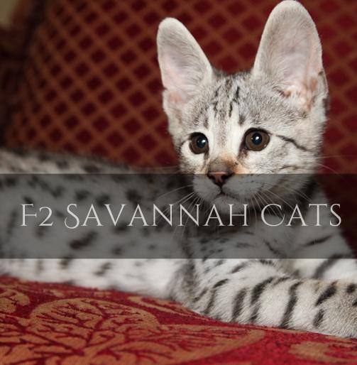 F2 Savannah Cat Pictures