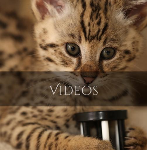 Savannah Cat Videos