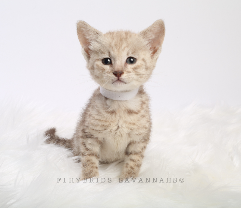 F1hybrids Savannah Cats - March 29, 2016-23.jpg