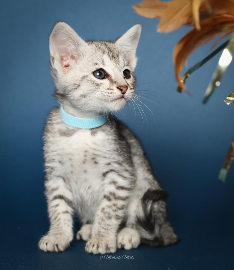 F1hybrids Savannah Cats - April 15, 2016-30.jpg