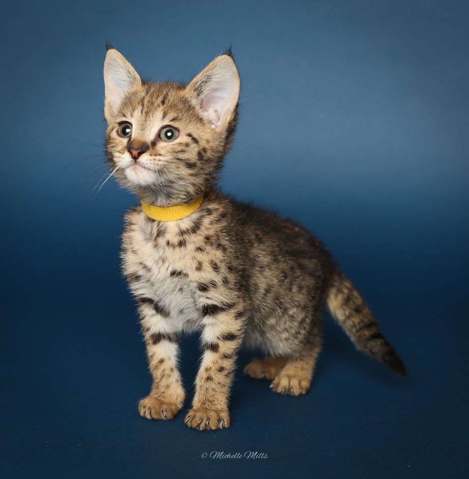 F1hybrids Savannah Cats - April 15, 2016-10.jpg
