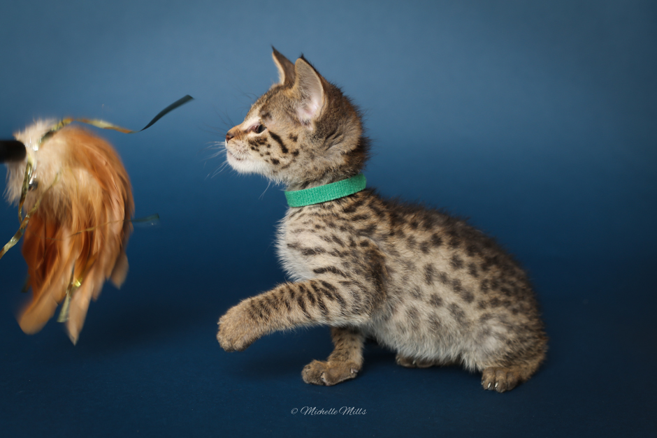 F1hybrids Savannah Cats - April 15, 2016-18.jpg