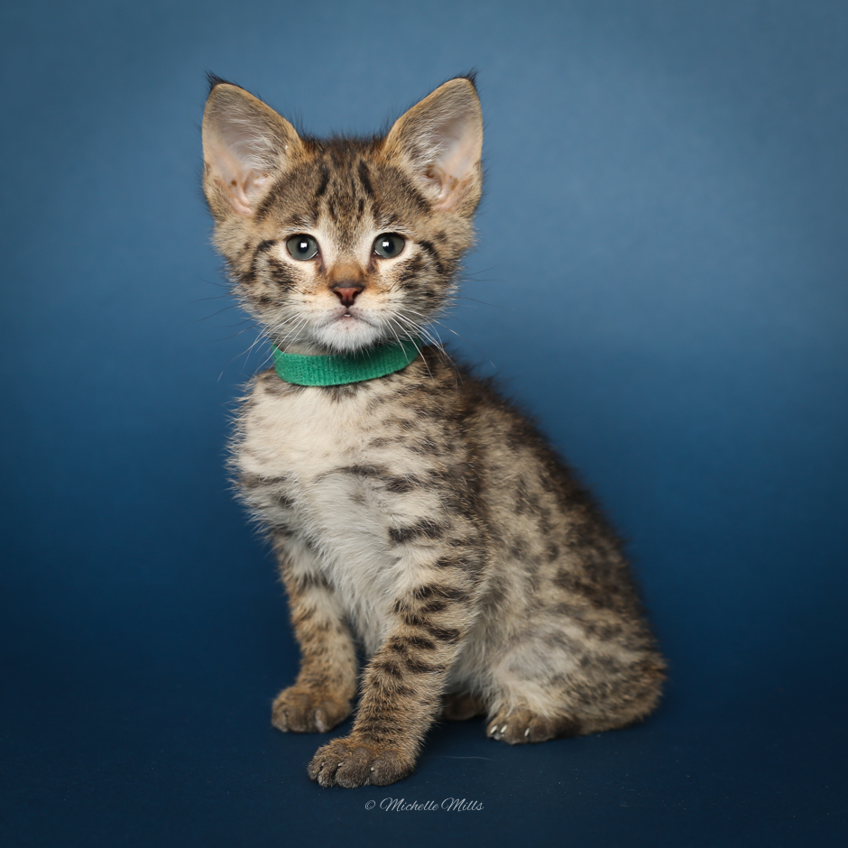 F1hybrids Savannah Cats - April 15, 2016-19.jpg
