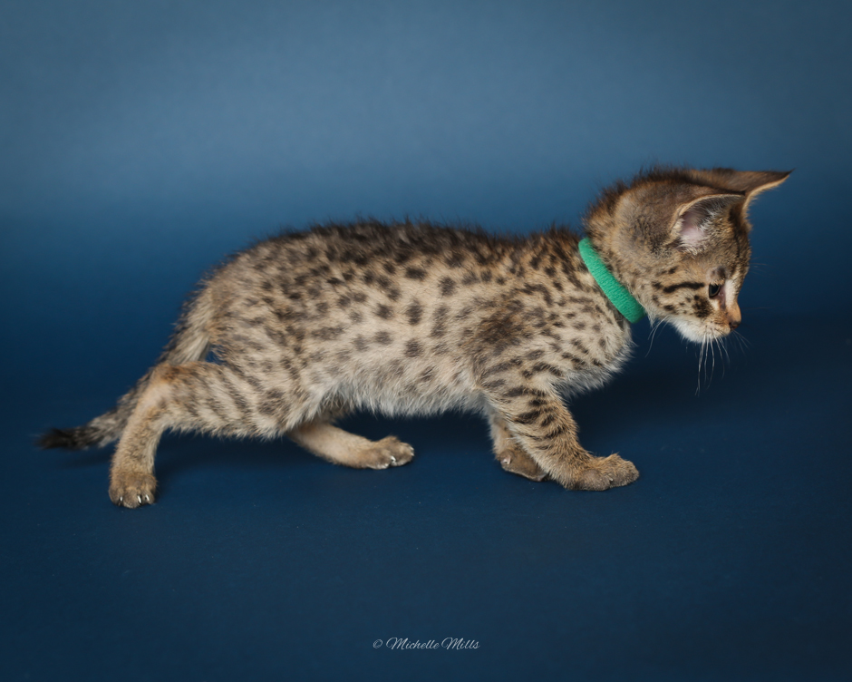 F1hybrids Savannah Cats - April 15, 2016-21.jpg