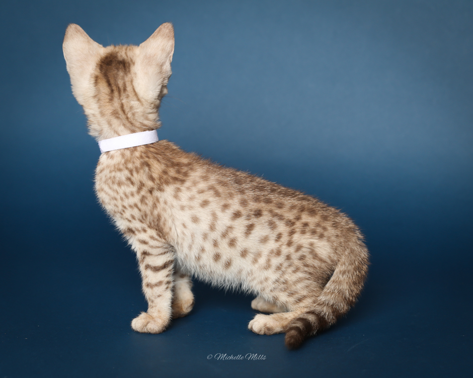 F1hybrids Savannah Cats - April 15, 2016-27.jpg