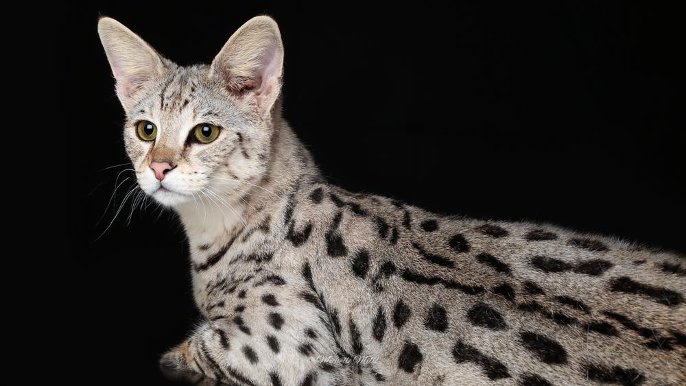 Large Savannah Cat