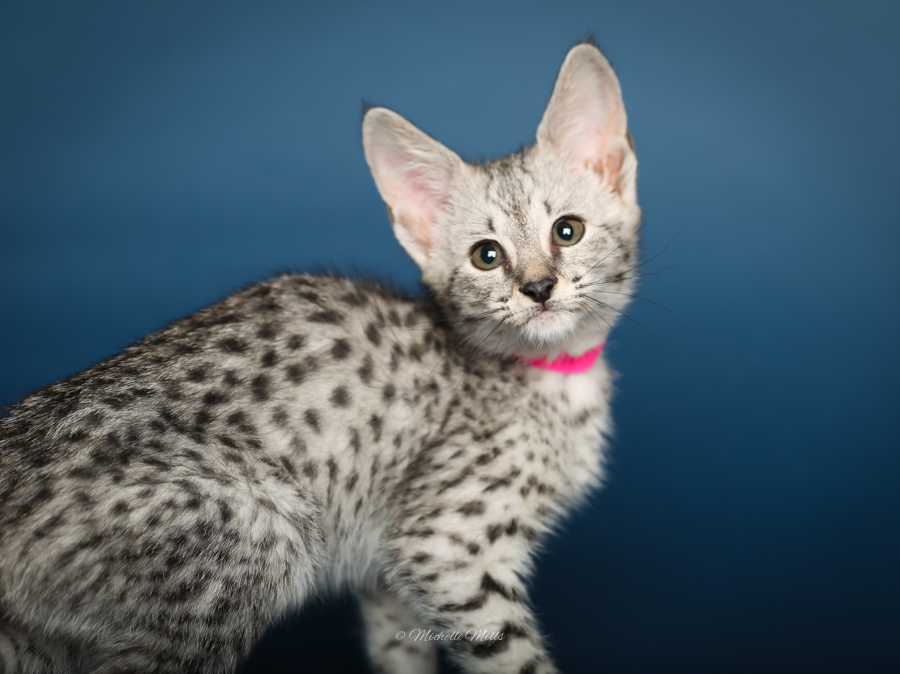 F1hybrids Savannah Cats - April 29, 2016-76.jpg