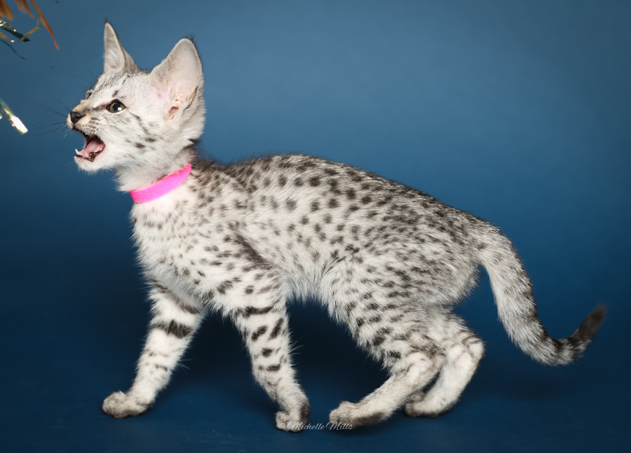 F1hybrids Savannah Cats - April 29, 2016-78.jpg