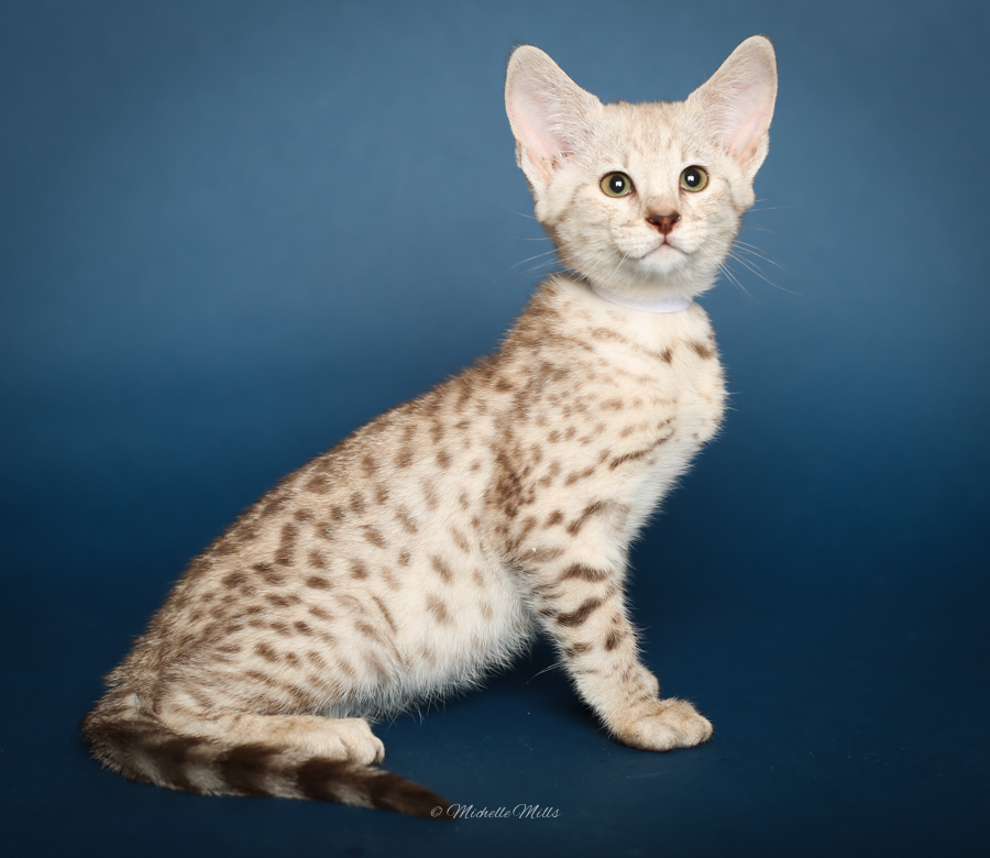 F1hybrids Savannah Cats - April 29, 2016-69.jpg