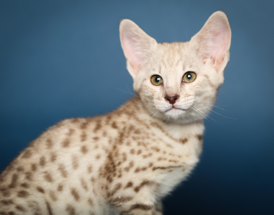 F1hybrids Savannah Cats - April 29, 2016-71.jpg