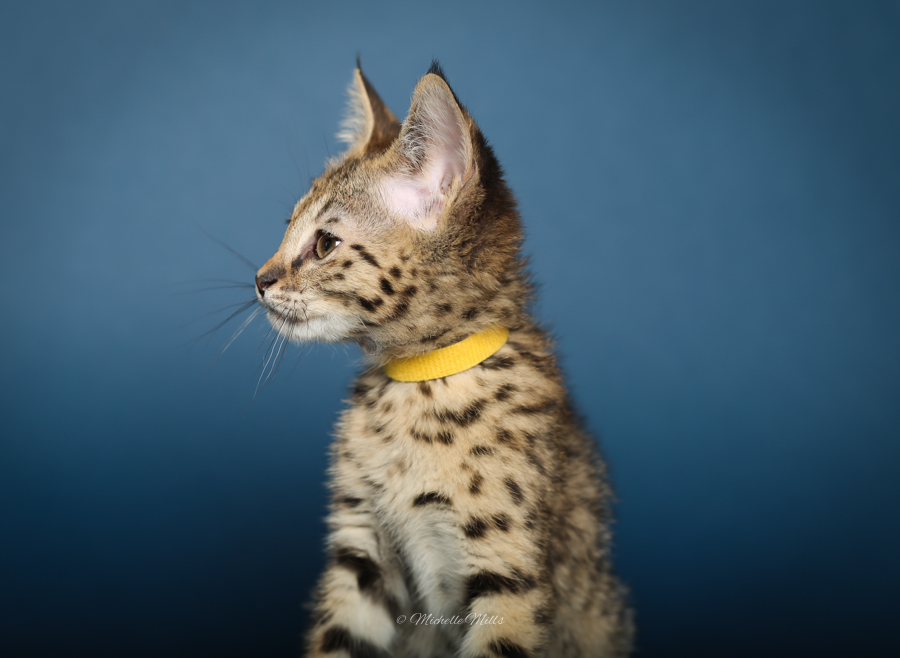 F1hybrids Savannah Cats - April 29, 2016-58.jpg