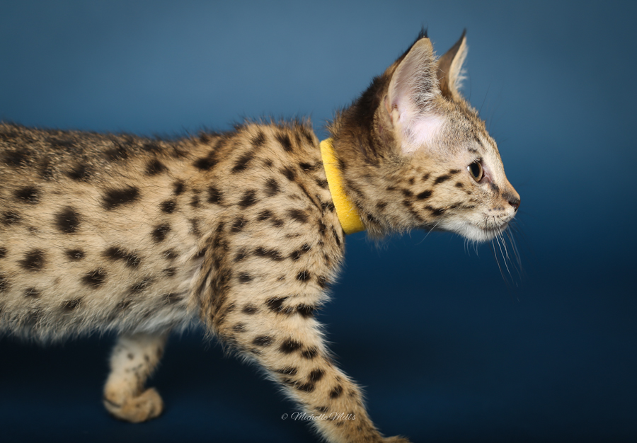 F1hybrids Savannah Cats - April 29, 2016-61.jpg