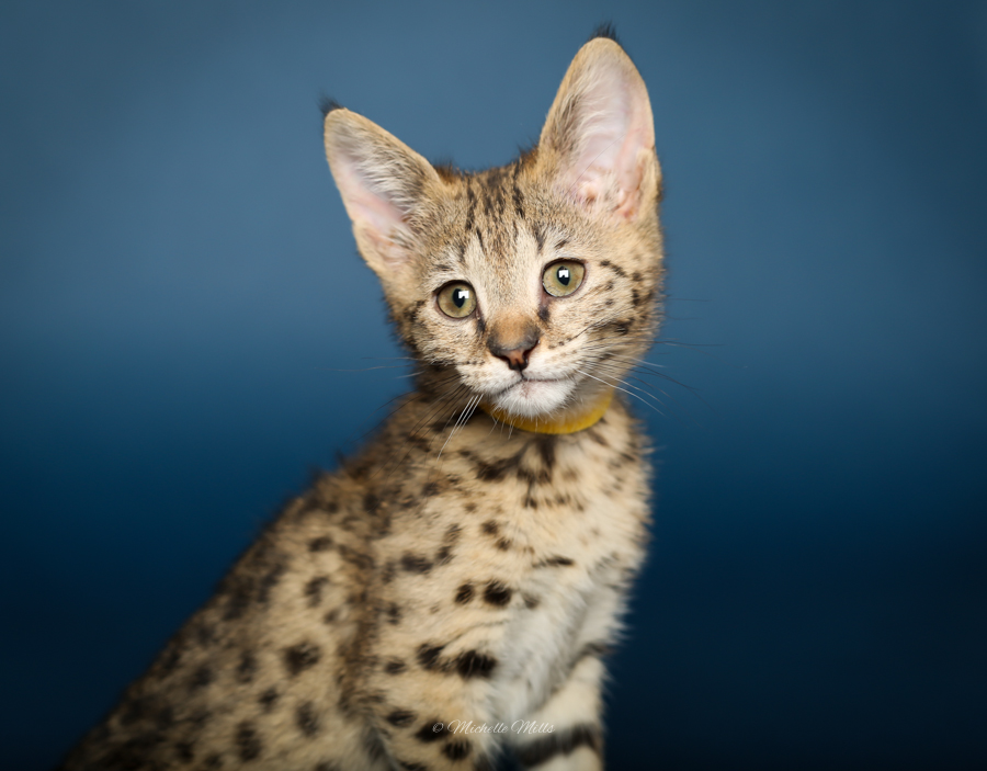 F1hybrids Savannah Cats - April 29, 2016-64.jpg