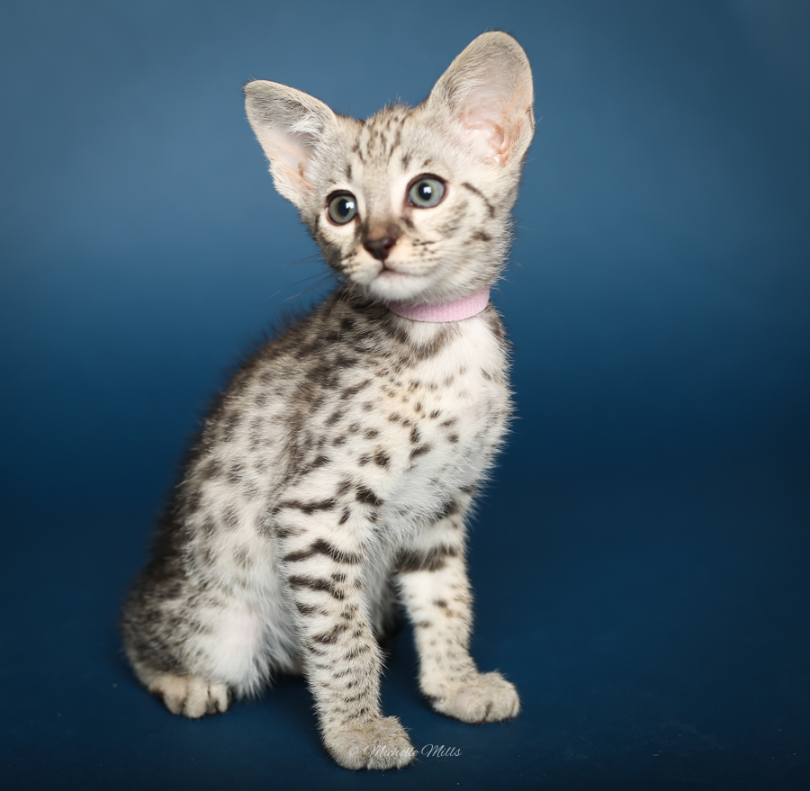 F1hybrids Savannah Cats - April 29, 2016-10.jpg