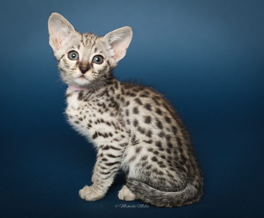 F1hybrids Savannah Cats - April 29, 2016-11.jpg