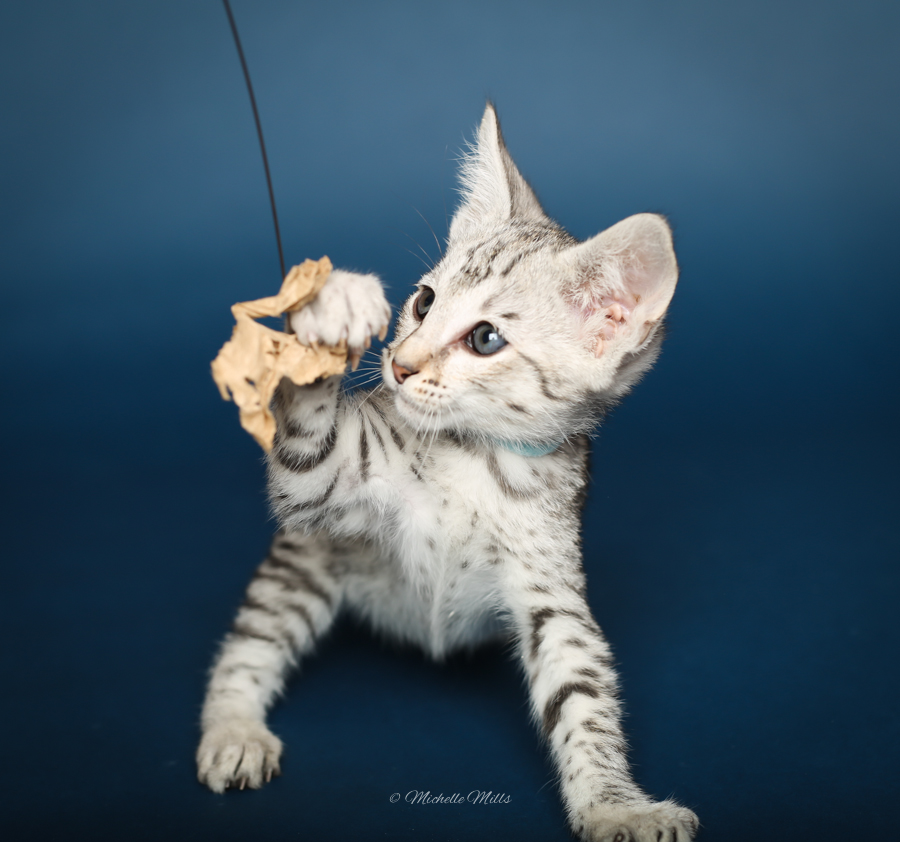 F1hybrids Savannah Cats - April 29, 2016-6.jpg