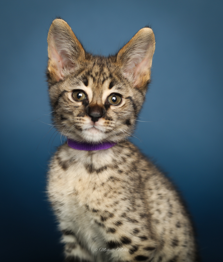 F1hybrids Savannah Cats - April 29, 2016-52.jpg