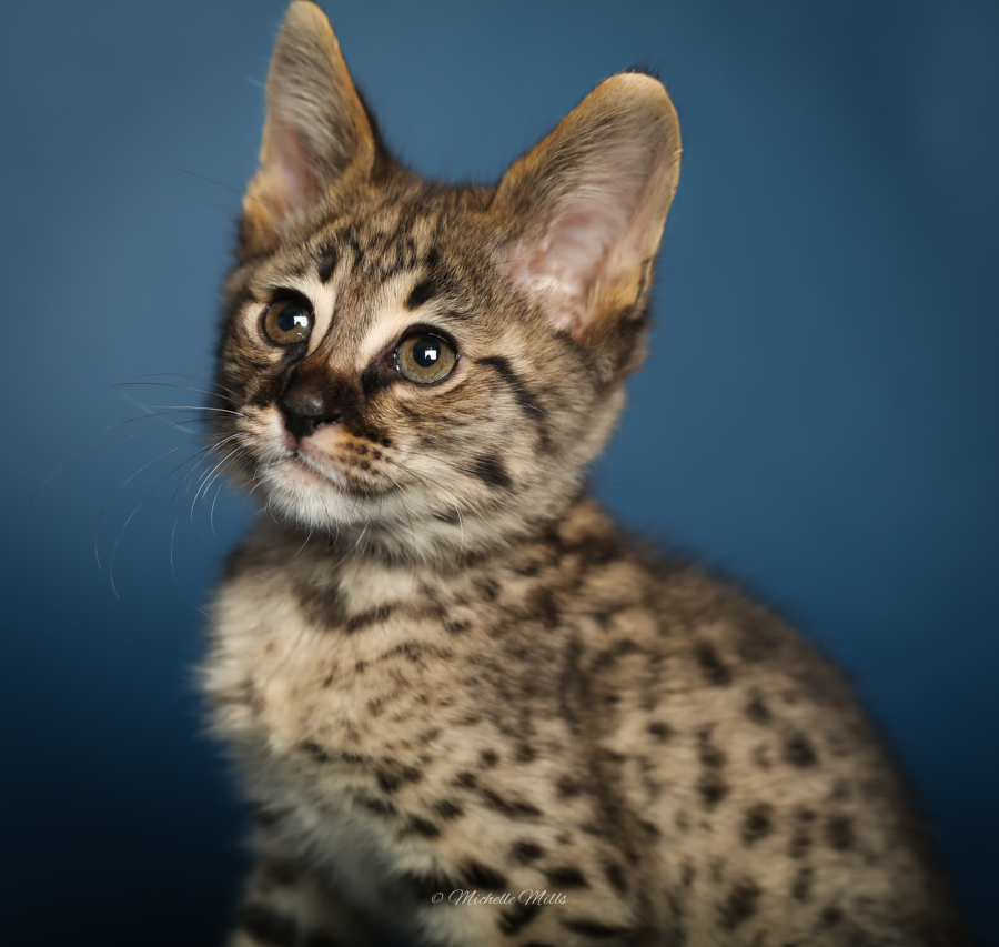 F1hybrids Savannah Cats - April 29, 2016-48.jpg