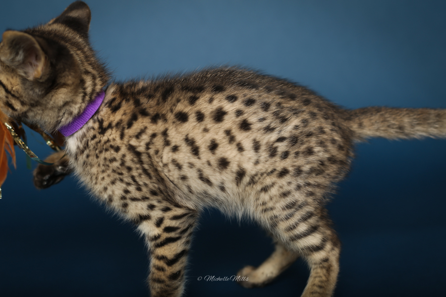F1hybrids Savannah Cats - April 29, 2016-53.jpg