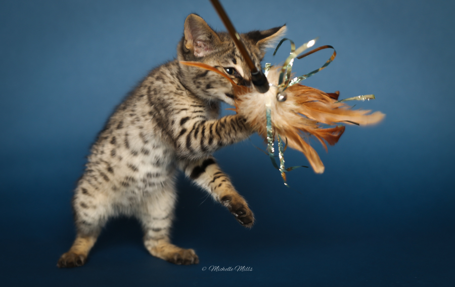 F1hybrids Savannah Cats - April 29, 2016-55.jpg