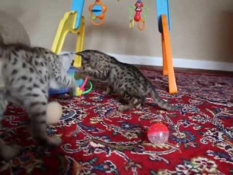 Bengal mix cat size