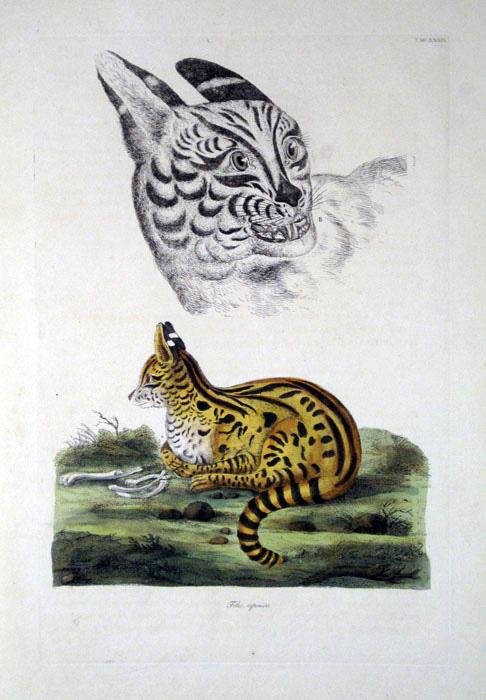 1822. Serval Cat