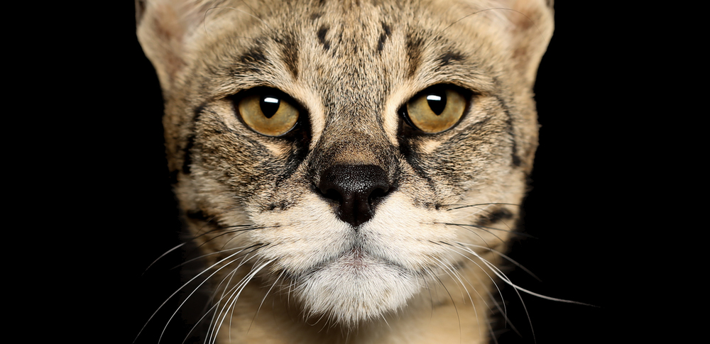F2 Savannah Kittens For Sale